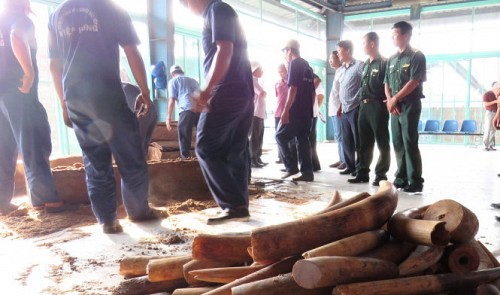 Ho Chi Minh City customs officers confiscate one ton of smuggled Cambodia-bound tusks