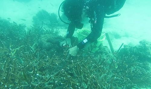 Coral transplants in Vietnam's Phu Quoc
