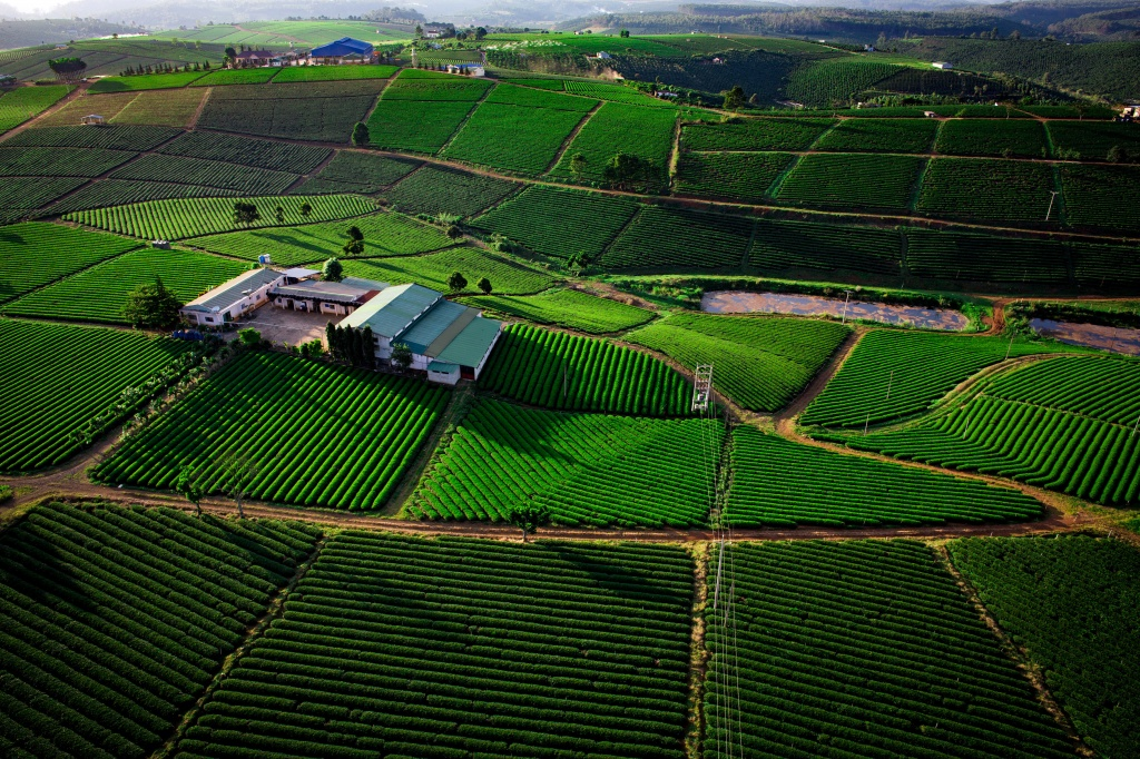 Growing Oolong tea for export in Vietnam