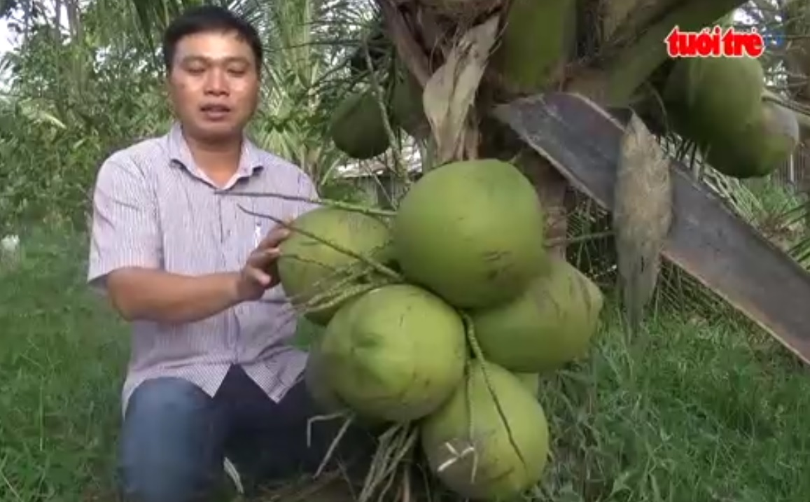 Vietnamese scientists create kopyor coconuts