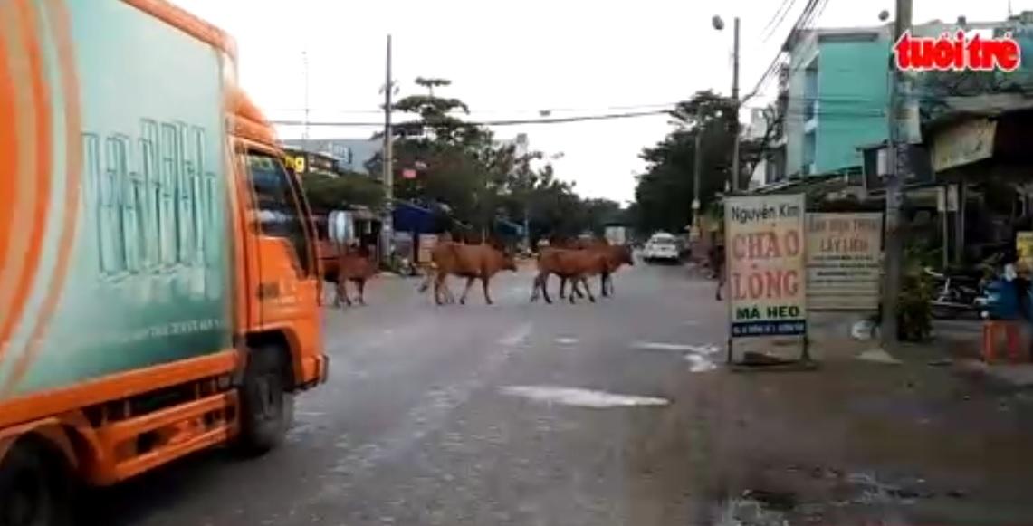 Cows parade on Ho Chi Minh City streets