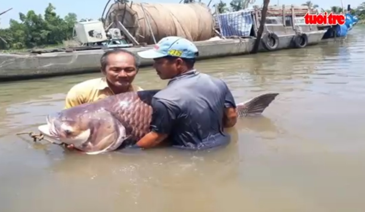 Siamese giant carp caught in southern Vietnam