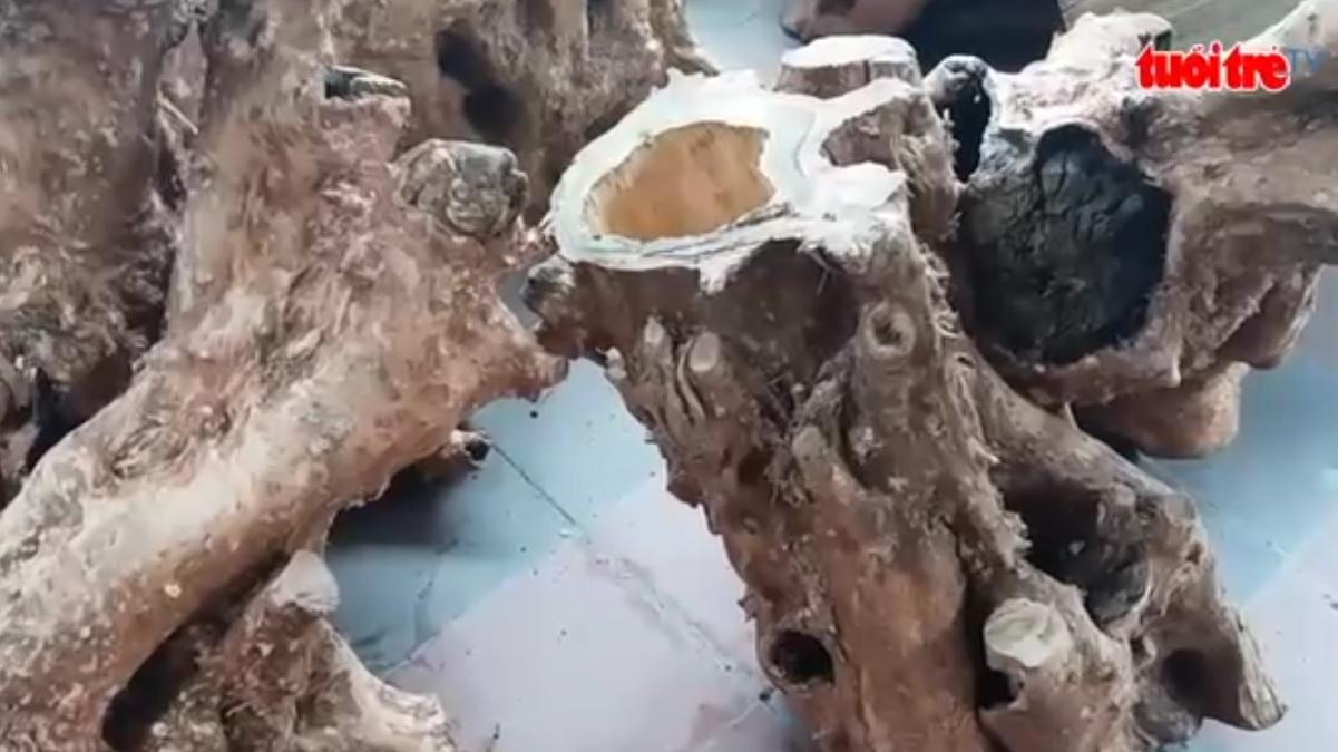 Illegal padauk wood logging in Phong Nha-Ke Bang National Park