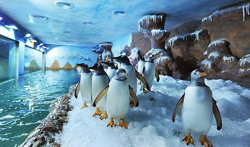 How penguins are raised on tropical Phu Quoc Island