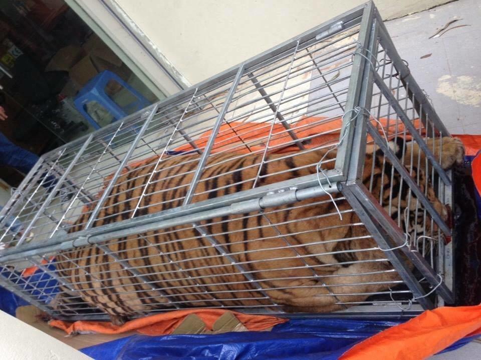 Hanoi police arrest five for illicitly transporting live tiger