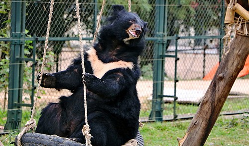Rescued bears get corrective jaw surgery in Vietnam