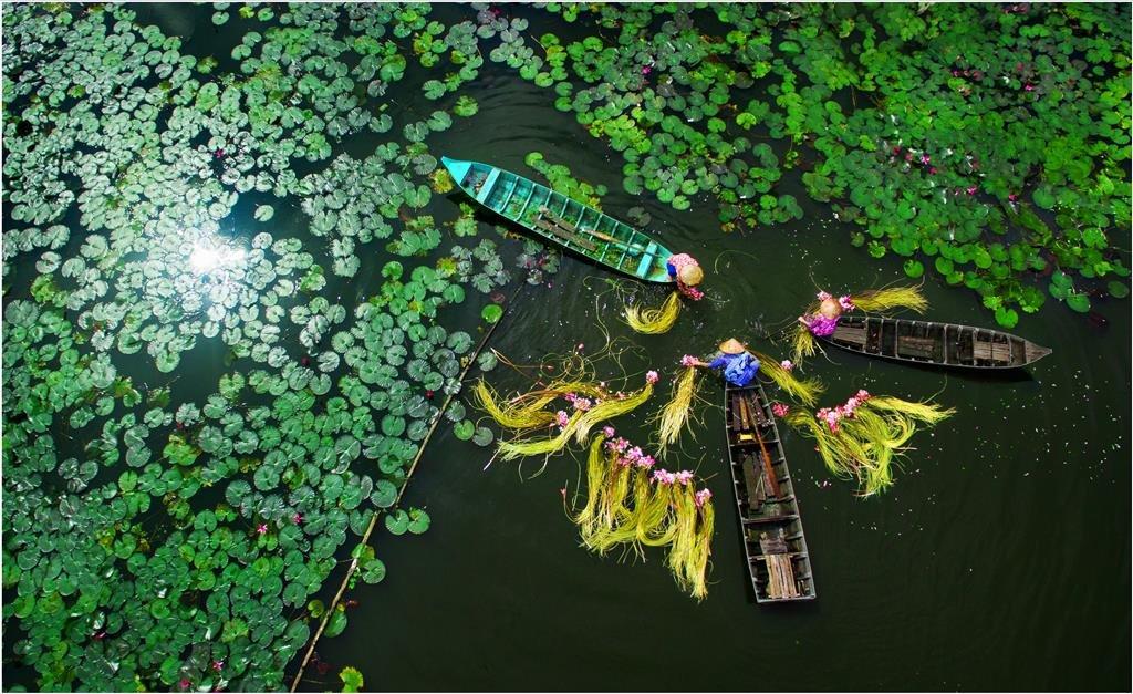 A lotus harvest