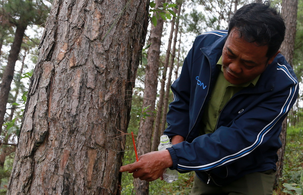 ​Over 200 pine trees poisoned with herbicide in Vietnam's Central Highlands