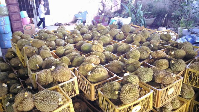 Facility caught chemically treating 11 tons of durian in Vietnam's Central Highlands