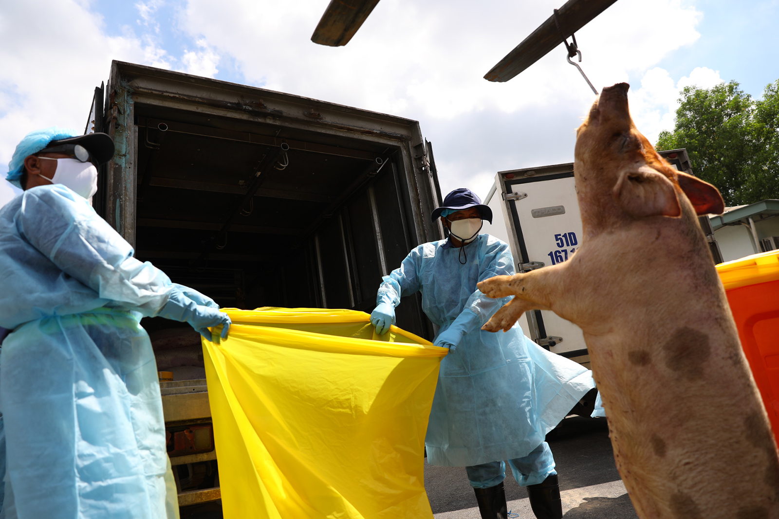 Ho Chi Minh City plans incineration of 3,750 pigs after exposure to sedatives