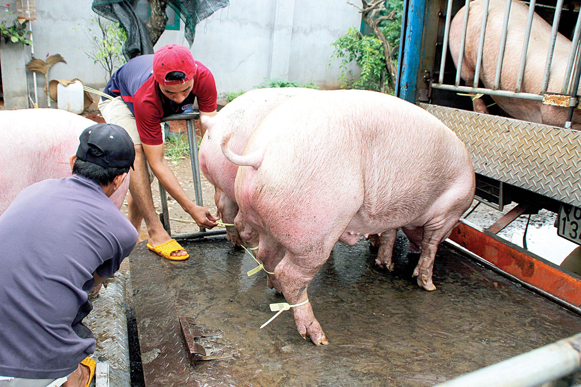 Ho Chi Minh City says no to 'homeless' pork