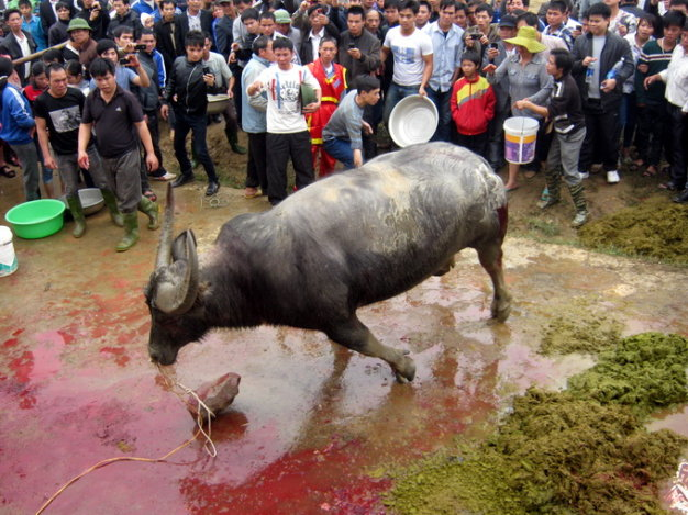 ​Animals Asia director calls on Vietnamese city to end buffalo fight festival