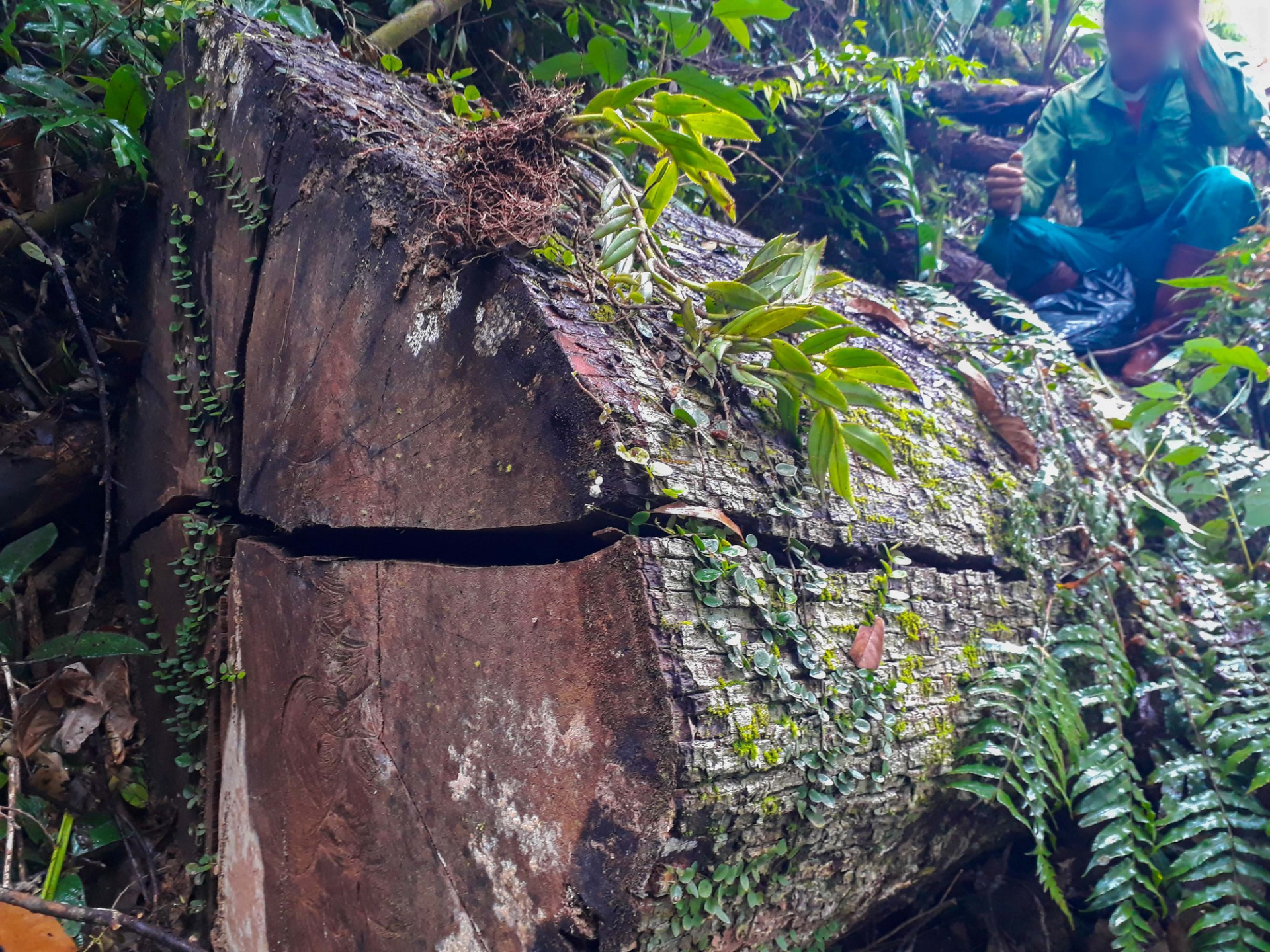 Protection forest devastated in northern Vietnam