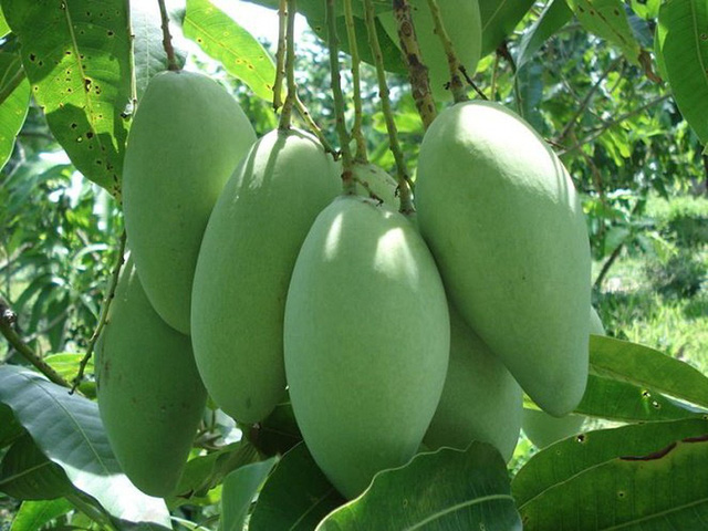 US approves fresh mango imports from Vietnam