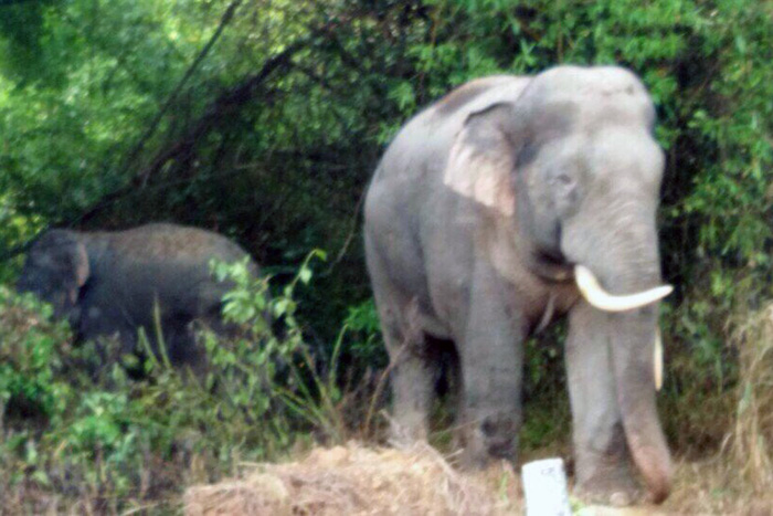 Wild elephants repeatedly ravage crops in southern Vietnam