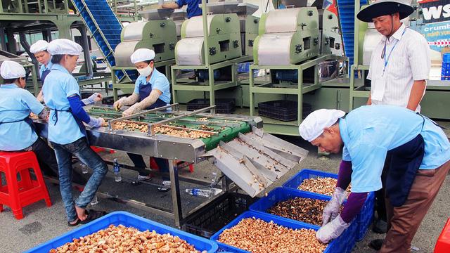 Vietnam's cashew industry turns to Cambodia