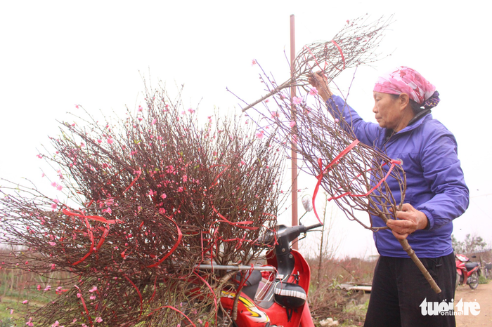 Hien, a resident of Nhat Tan Ward, is cutting branches of early blooming blossoms. She is about to sell them at the market. Photo: Tuoi Tre