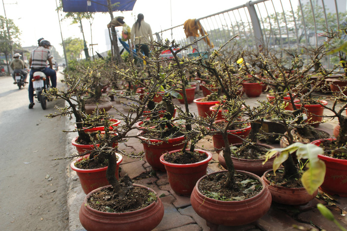 Small-sized apricot trees, offered at US$8-12, in Ho Chi Minh City. Photo: Tuoi Tre