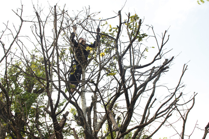 A man climbs a many-year-old apricot tree to remove its leaves to stimulate its blossoming. Photo: Tuoi Tre