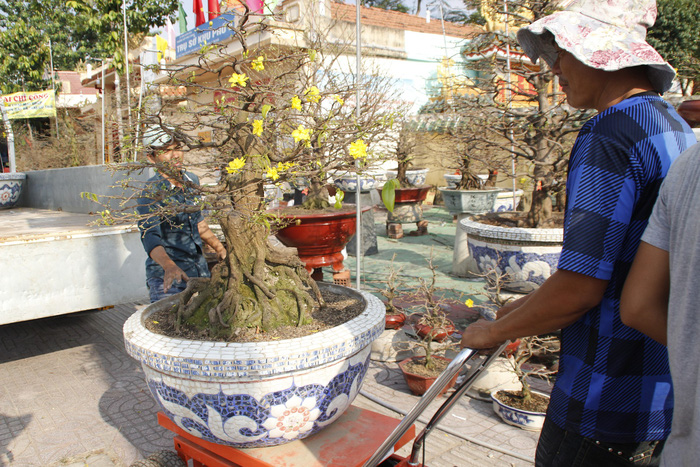 Men move a pot of blooming apricot tree. Photo: Tuoi Tre