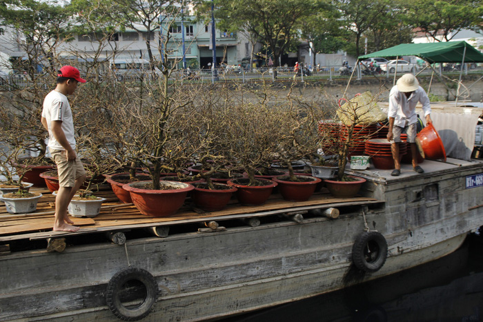 Apricot trees on a boat, ready to be moved onshore.  Photo: Tuoi Tre