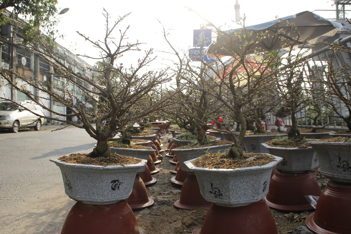 Large-sized pots of apricots placed along a street in Ho Chi Minh City. Photo: Tuoi Tre