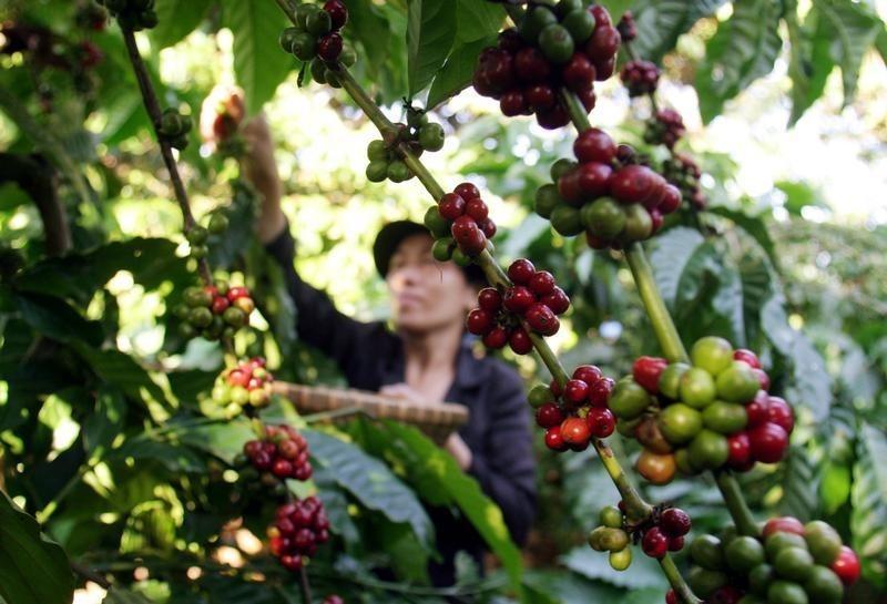 Asia Coffee-Vietnam Jan coffee exports jump, Indonesia nears mini-harvest