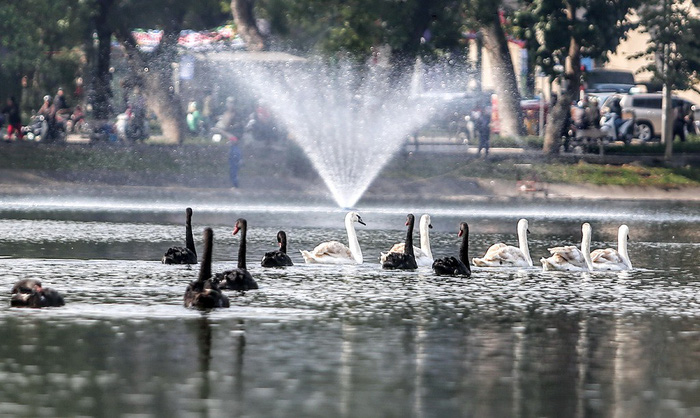 Hanoi stops releasing swans into Hoan Kiem Lake amid differing opinions