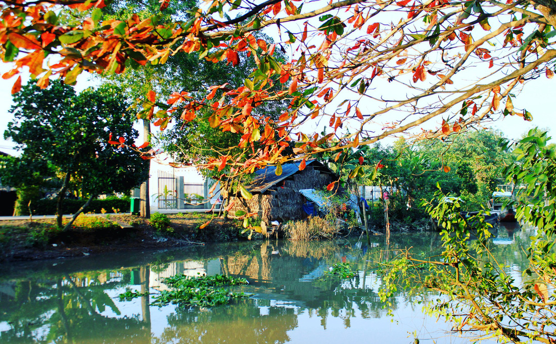 An Indian-almond tree is located by the river. Photo: Tuoi Tre