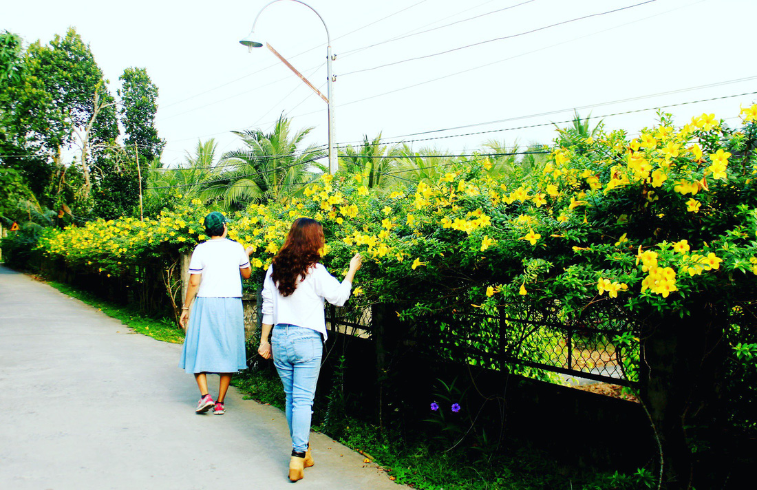 The fence is covered with golden trumpet flowers. Photo: Tuoi Tre