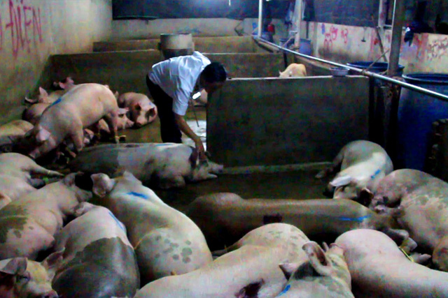 Scores of pigs with sedatives found in southern Vietnam