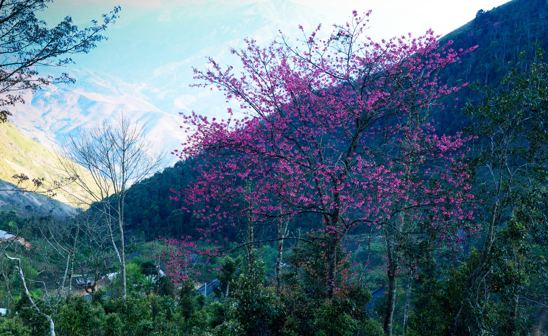 A village in Ta Xua is covered with blossoming flowers in the spring of 2018. Photo: Tuoi Tre