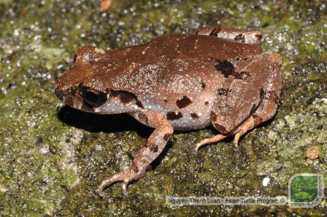 New frog species identified in Da Nang