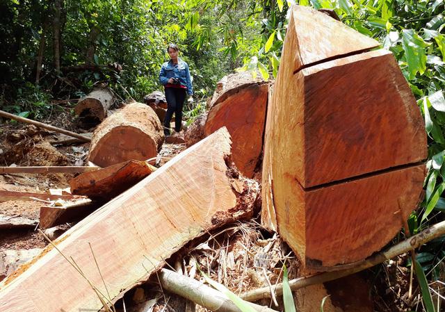 Successive massive illegal logging cases found in same Vietnamese province