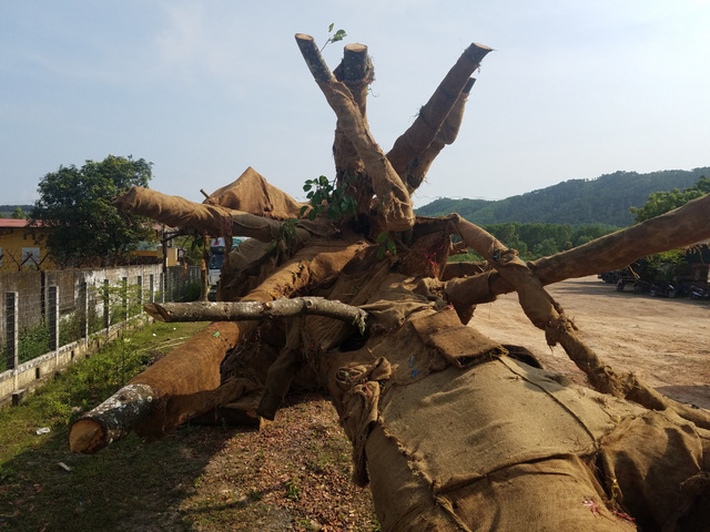 Trucks carrying giant age-old trees across Vietnam fined for overloading