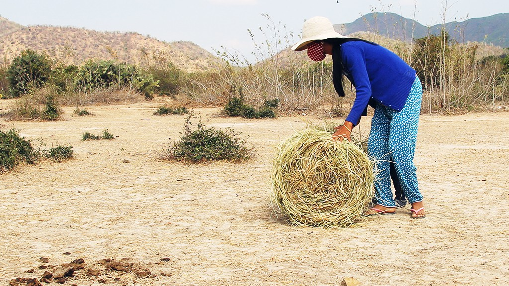 Chamaléa Thi Xuat pushes a roll of straw back to her home in order to feed her cows.