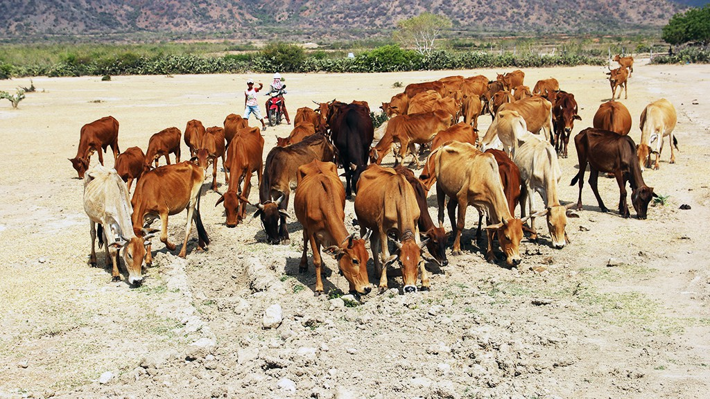 A herd of starving cows desperately look for food and water.