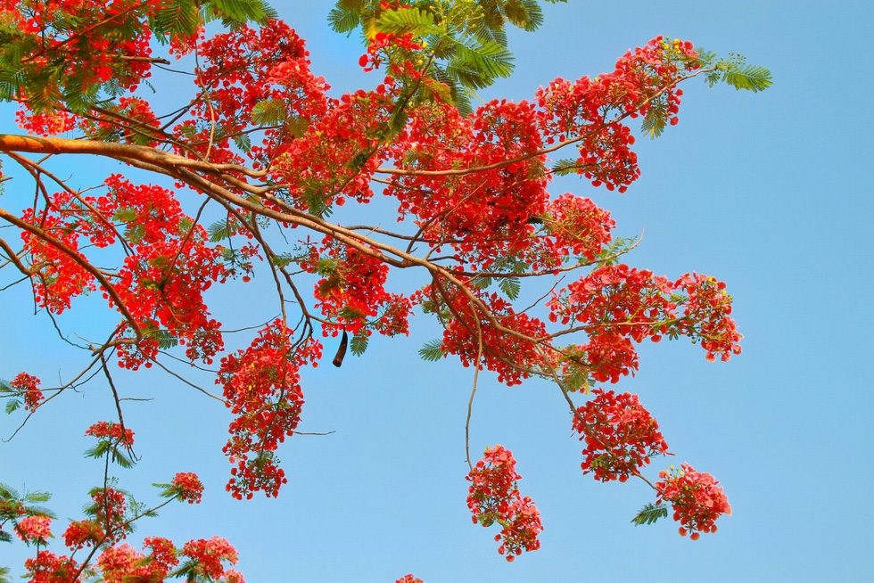 Red flamboyant flowers are pictured against the blue sky in this photo taken in Dong Thap Province, southern Vietnam. Photo: Tuoi Tre