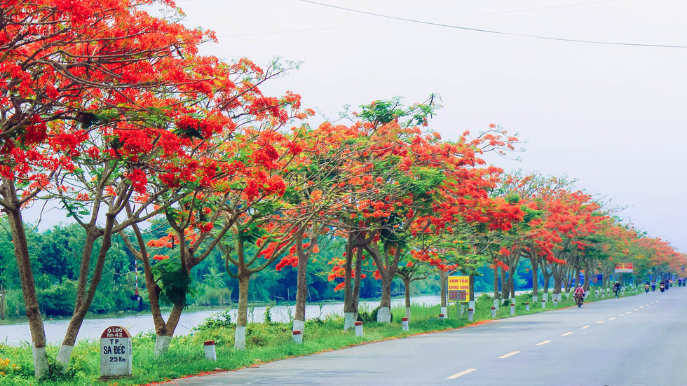 A row of blossoming flamboyant flowers are seen in Dong Thap Province, southern Vietnam. Photo: Tuoi Tre