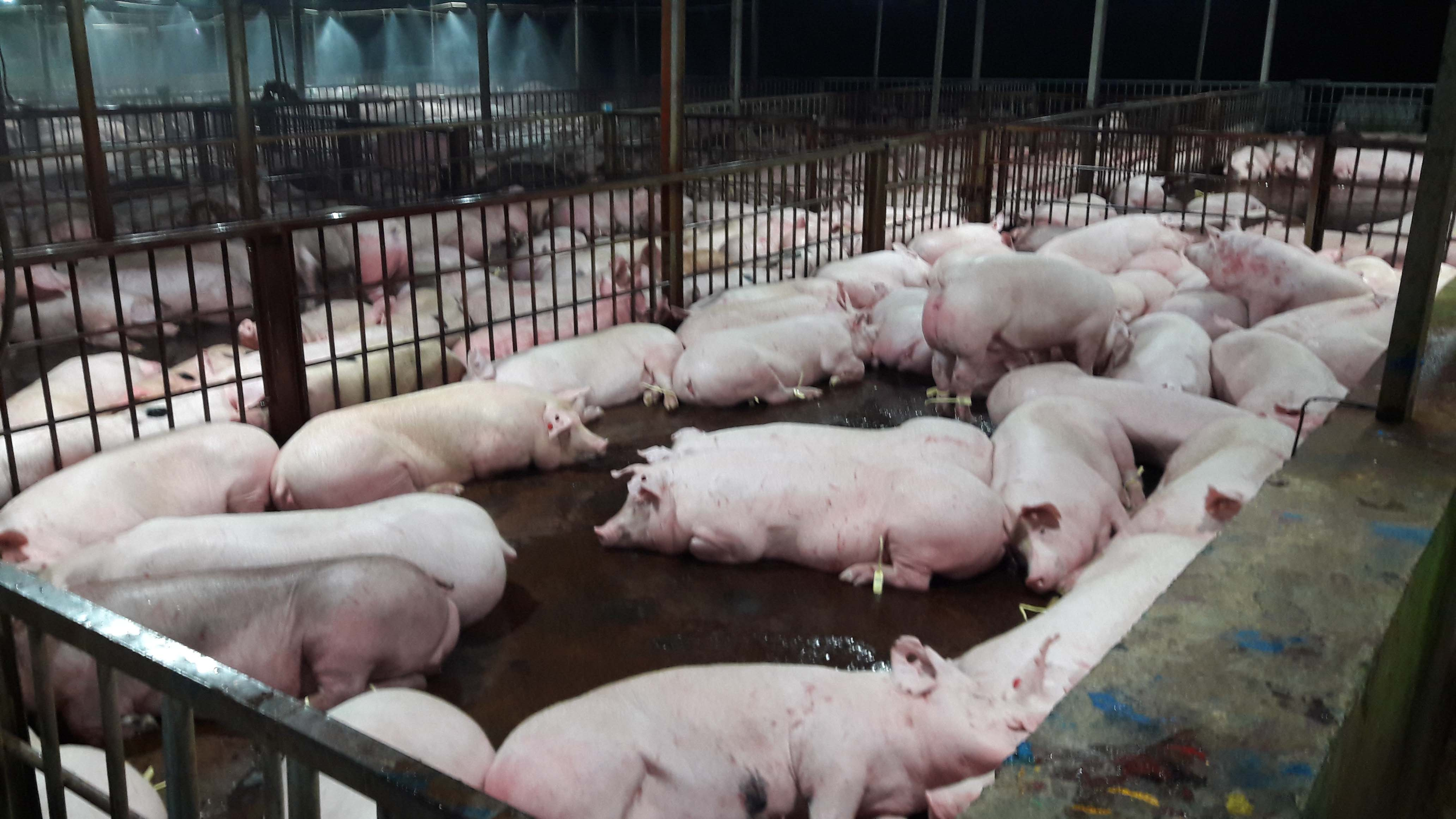 Vietnam refuses to ban the use of sedatives on pigs despite widespread abuse
