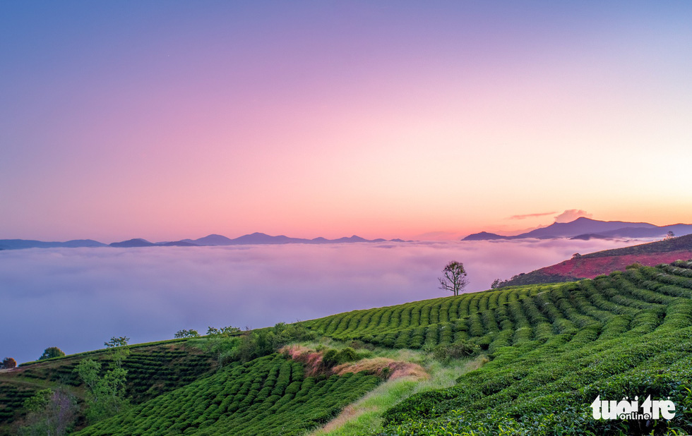 Cau Dat tea-growing farm in Da Lat. Photo: Tuoi Tre