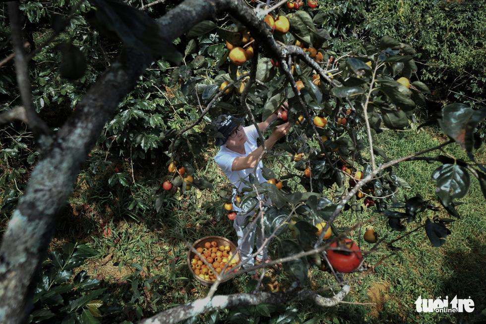 Persimmon trees. Photo: Tuoi Tre