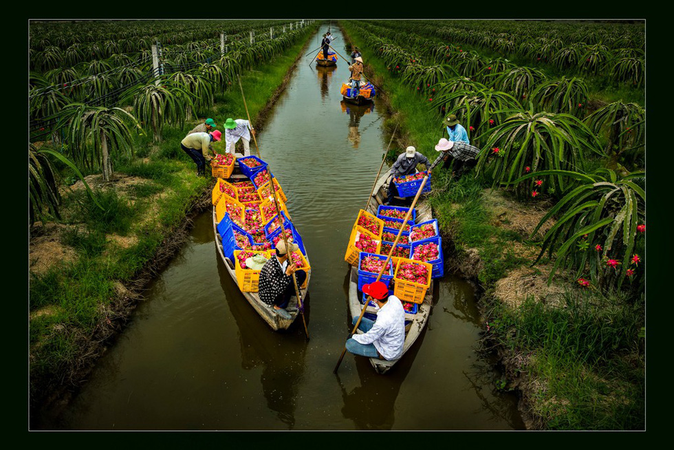 "Photo ""Thu hoach thanh long"" (Dragon fruit harvest) by Bui Gia Phu"