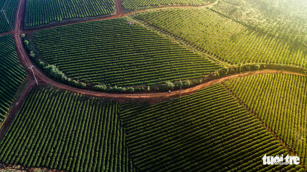 A tea farm in Bao Loc City. Photo: Le Van Cuong