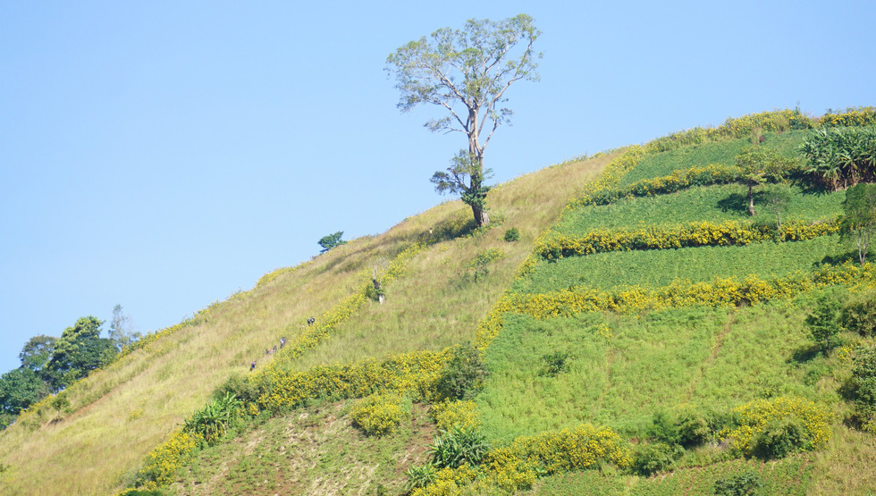 The wild sunflowers are spotted on top of a hill.