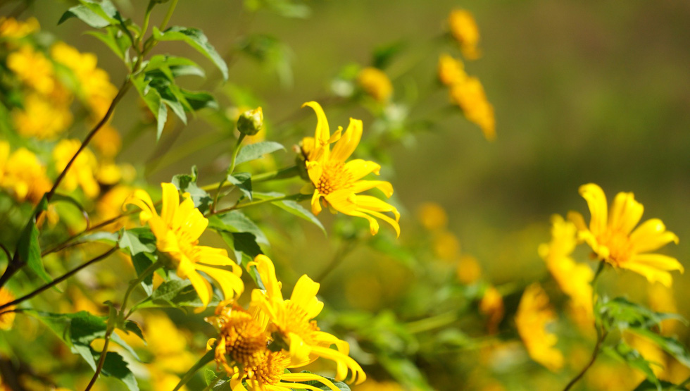 A close-up photo of the yellow wild sunflowers.