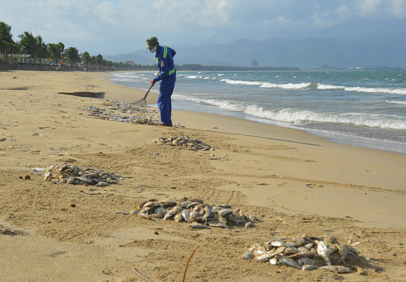 A worker clears dead fish on Da Nang beach. Photo: Tuoi Tre