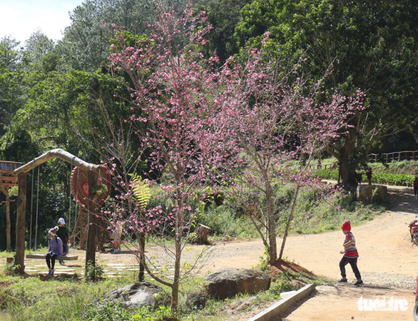 Da Lat grows Japan's sakura trees after successful trial