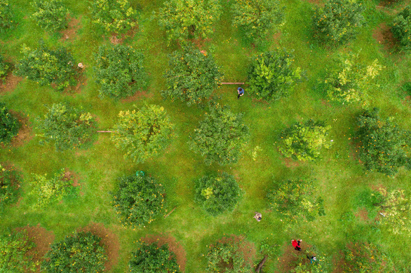An aerial view of a mandarin orchard in Lang Son Province, northern Vietnam. Photo: Tran Doan Huy