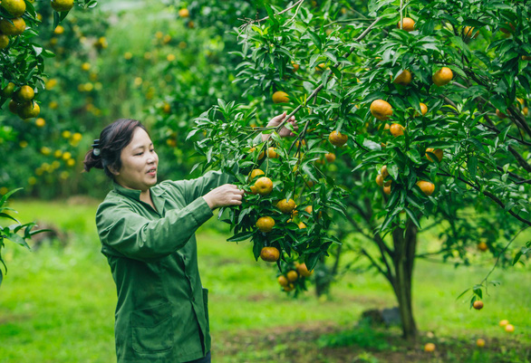 A woman picks mandarins at a plantation in Lang Son Province, northern Vietnam. Photo: Tran Doan Huy